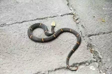 浙江出现白头蝰蛇,中国第一毒蛇,渐时没解药,见到快走.