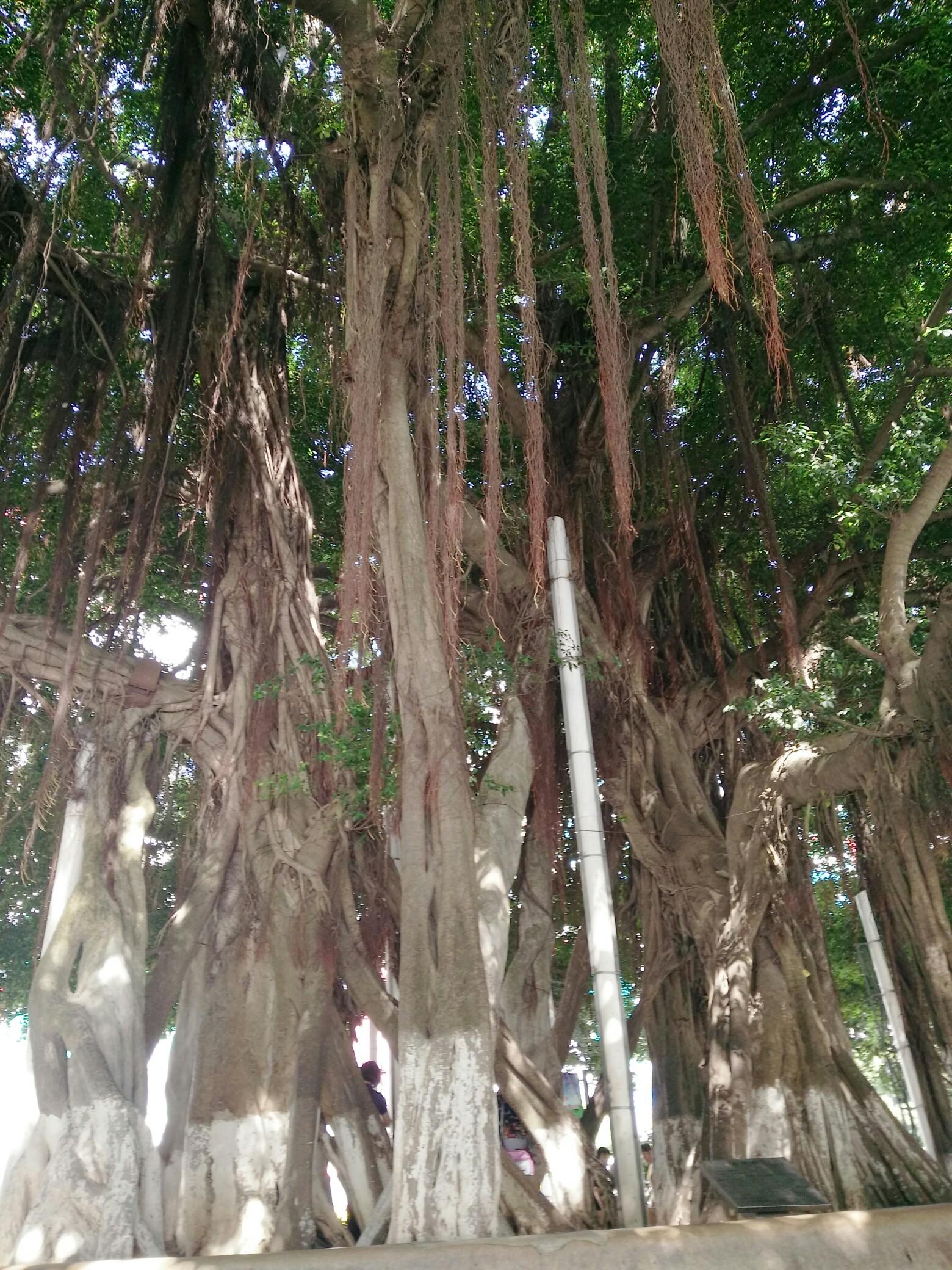 传说的大树底下好乘凉!