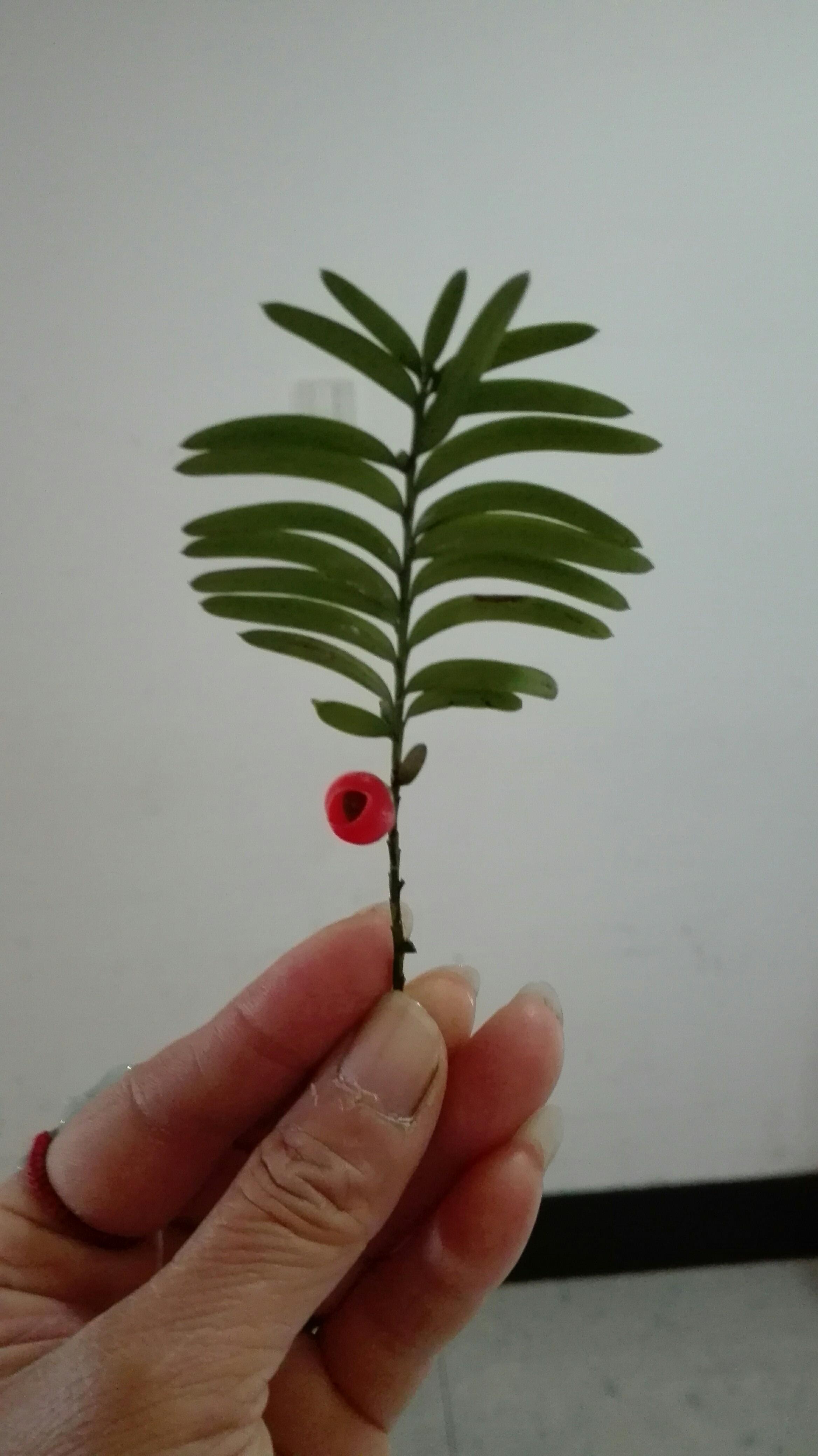植物红豆简笔画