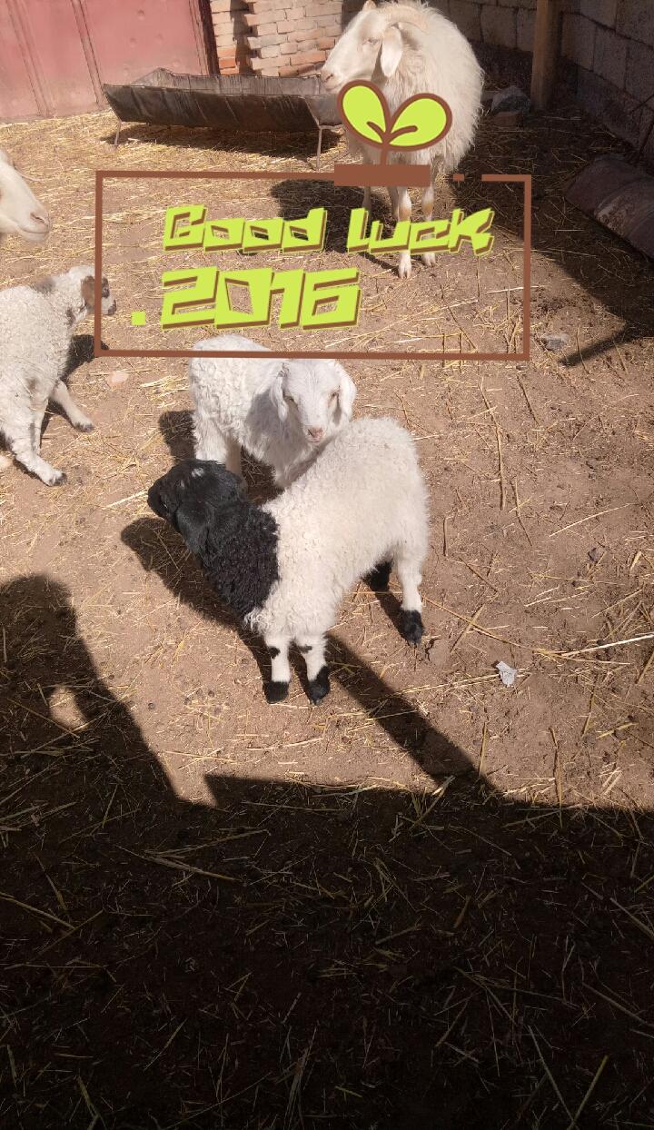 可爱的小羊羔!