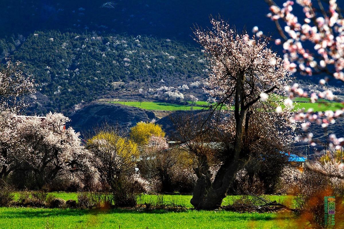 桃花节开幕时间:3月25日 桃花节开幕地点:西藏林芝市巴宜区嘎拉村