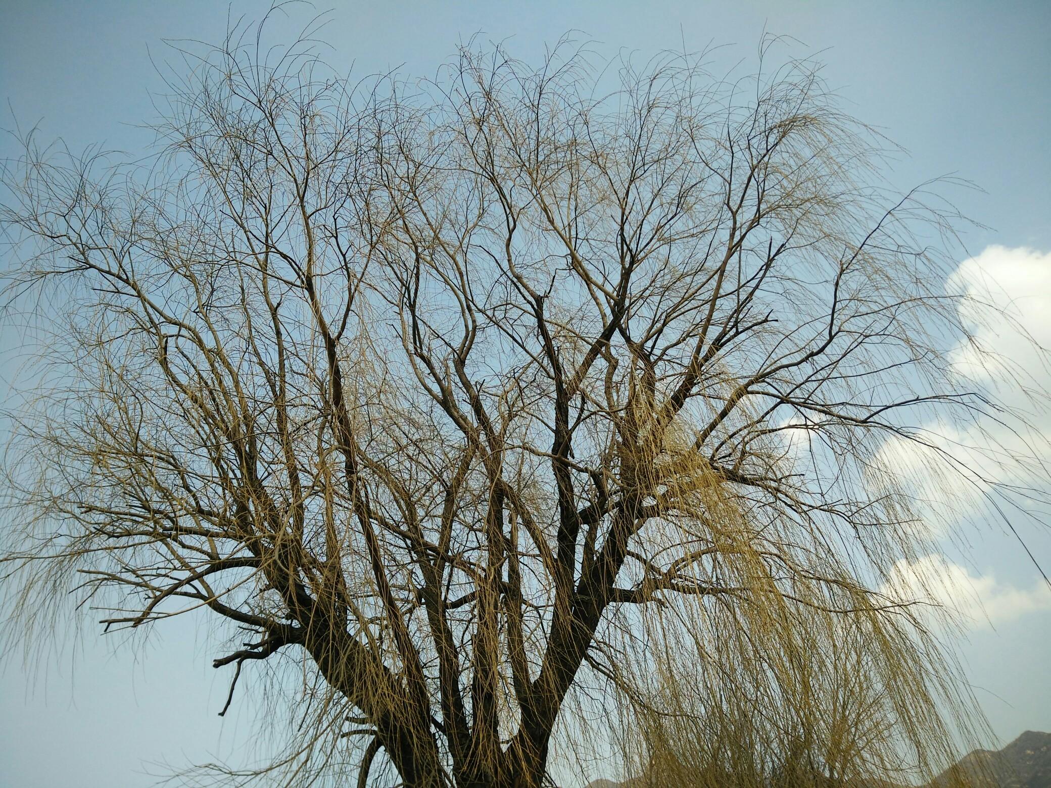 北京的小树刚刚发芽