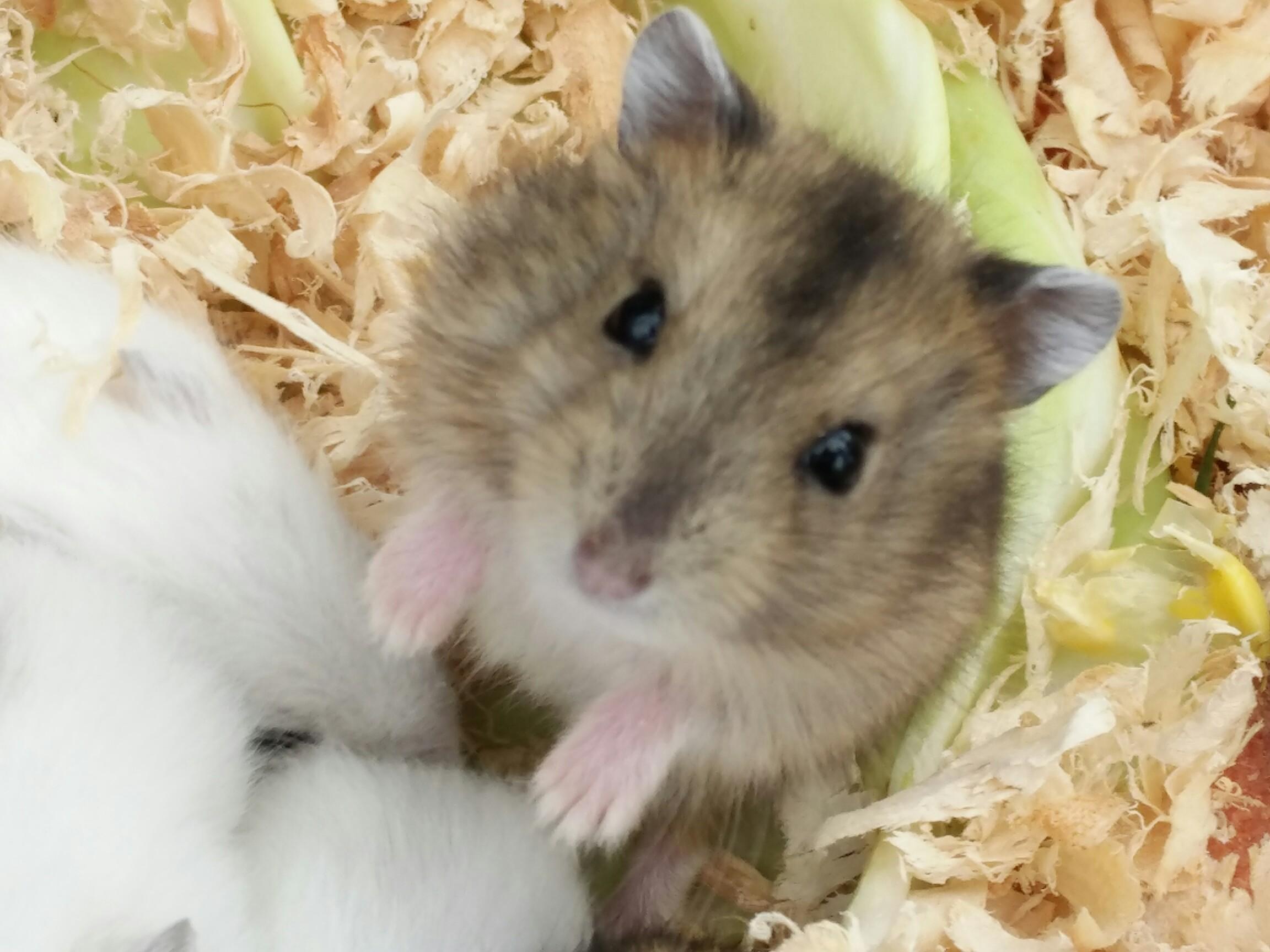 可爱的,小仓鼠……早安《配有影集》