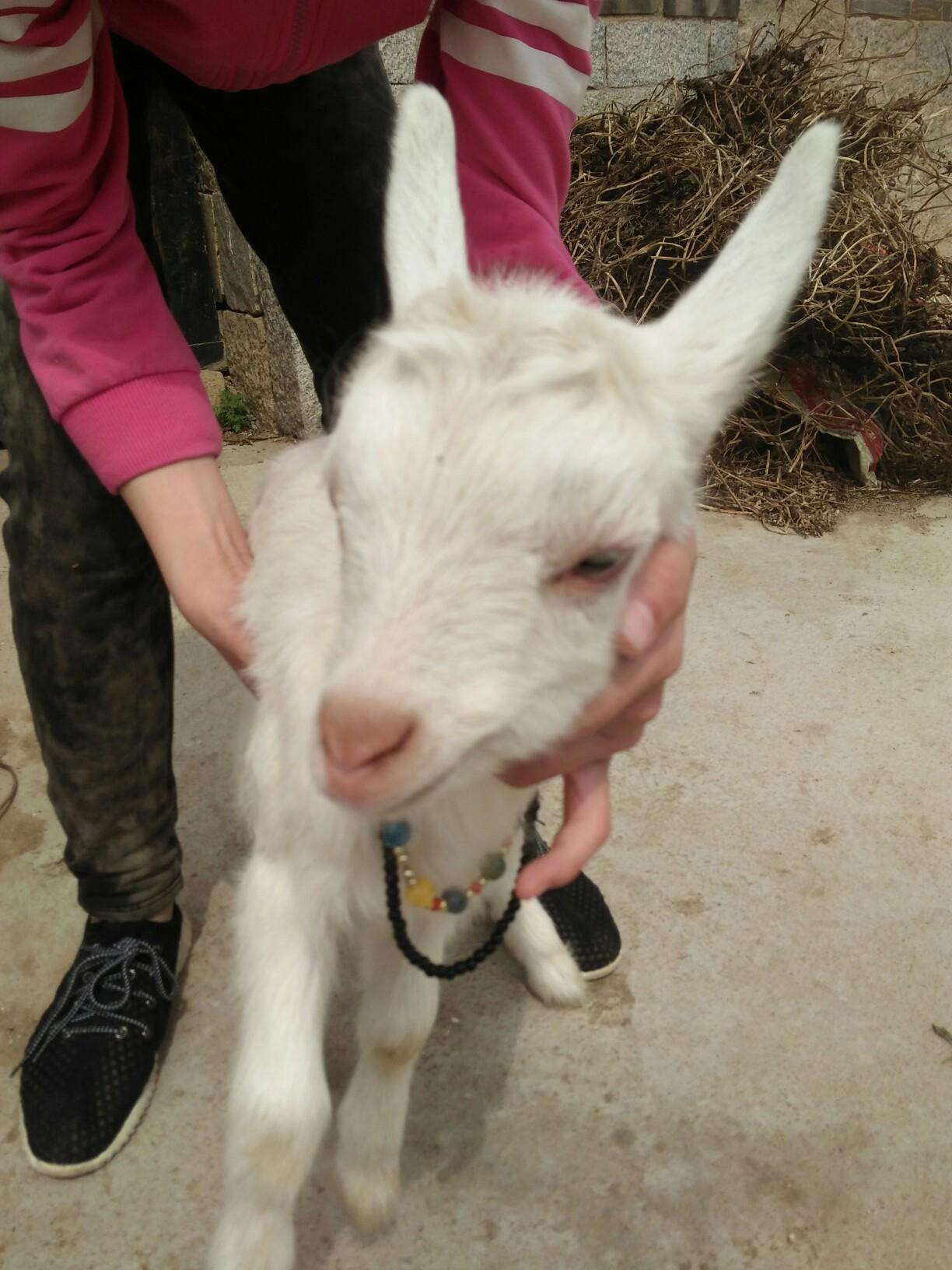 可爱的小羊羔.