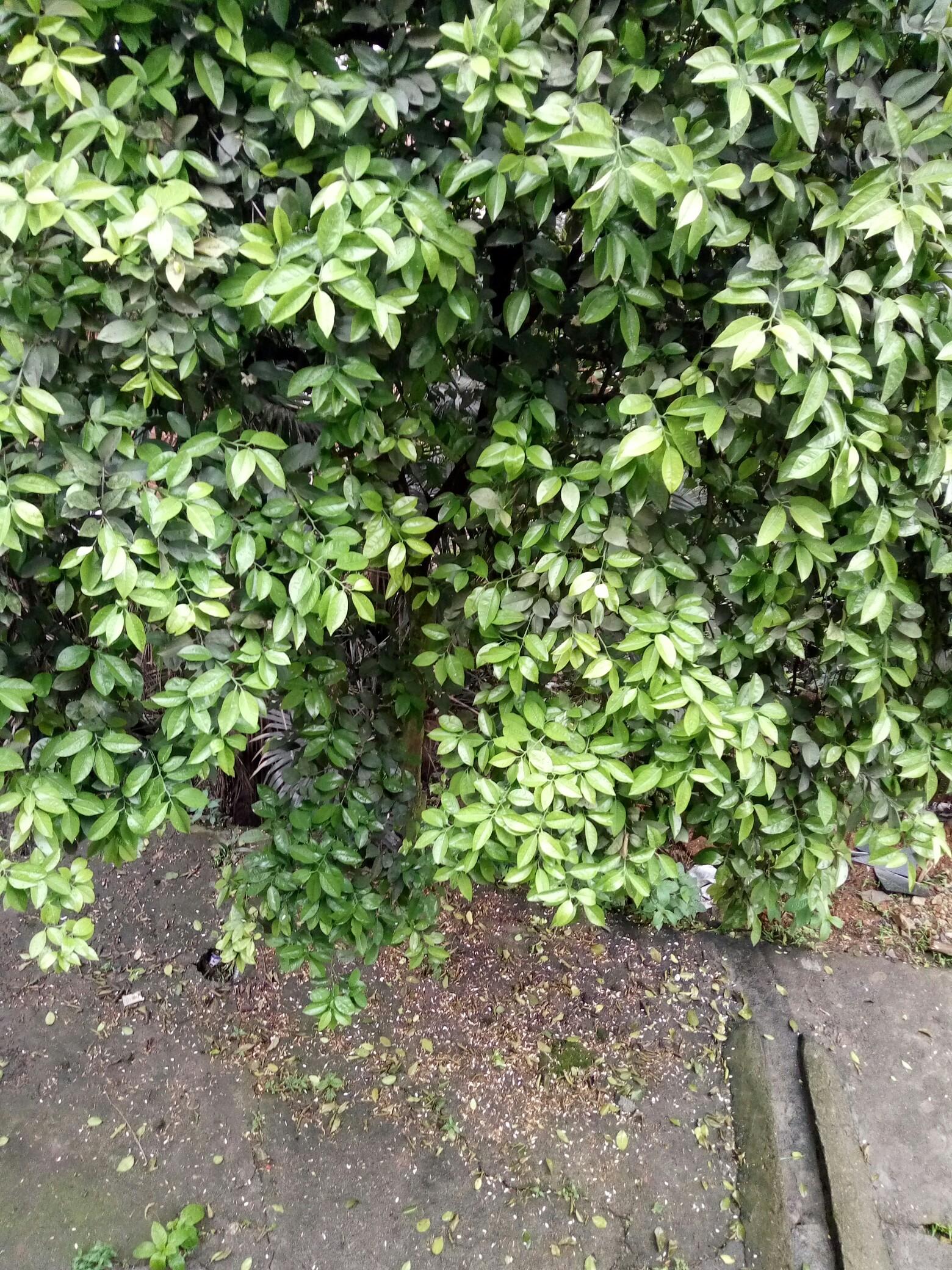 桔子树的花都掉了._帖子_oppo手机官方社区