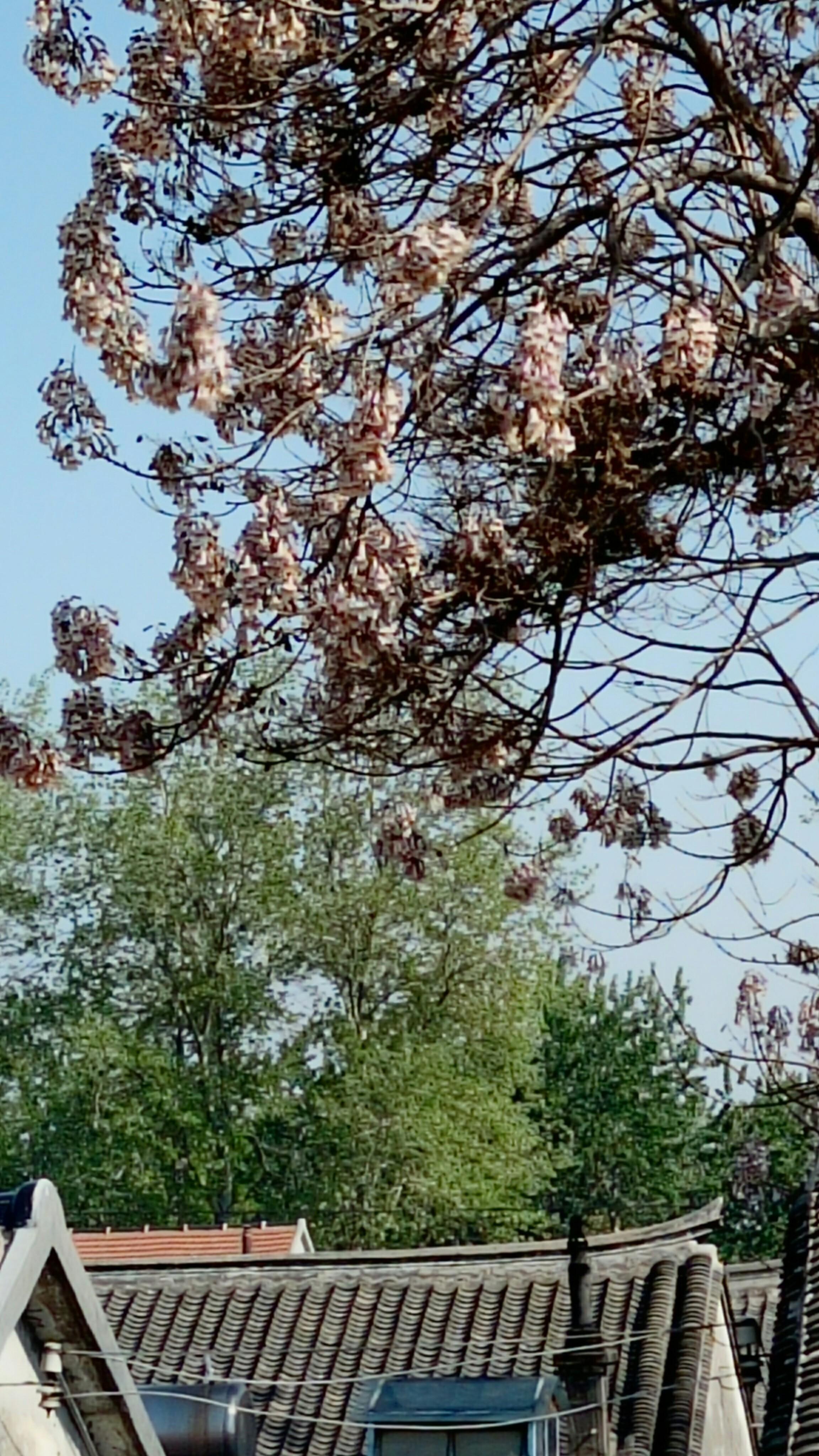 老家的梧桐树开花了