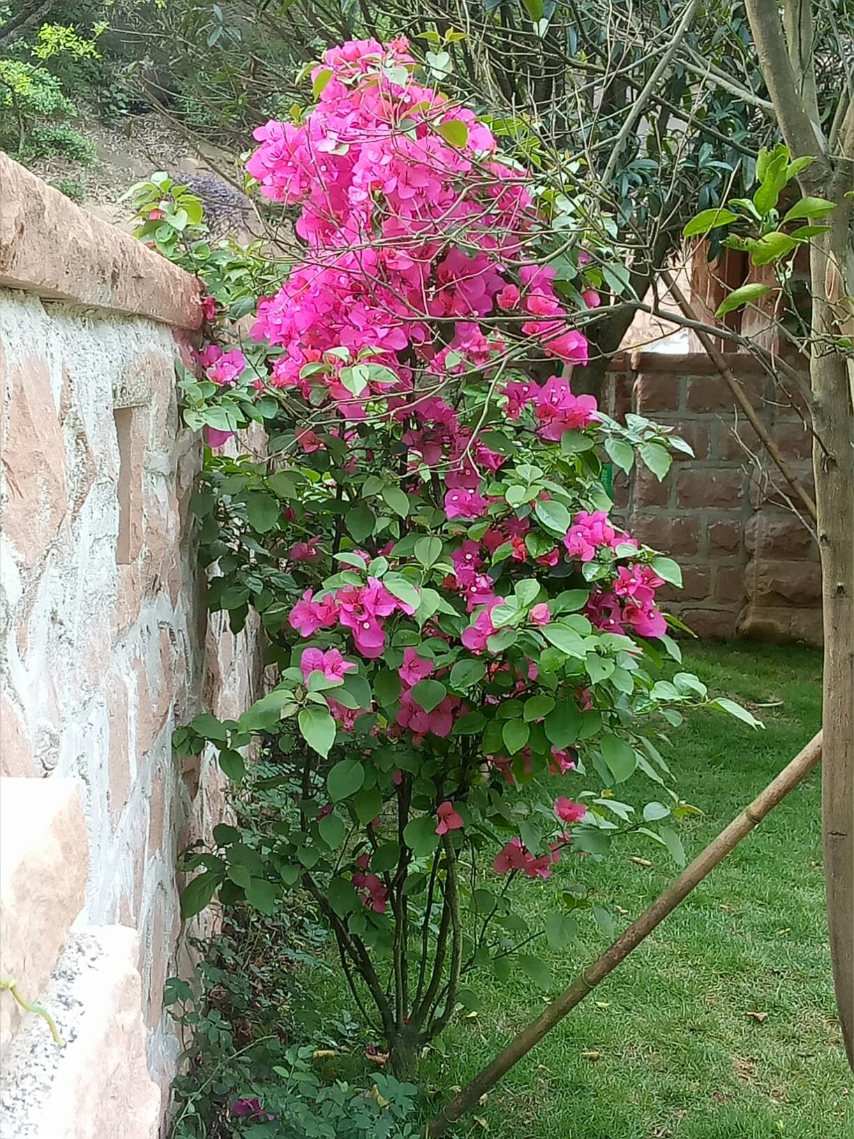 三角梅花树