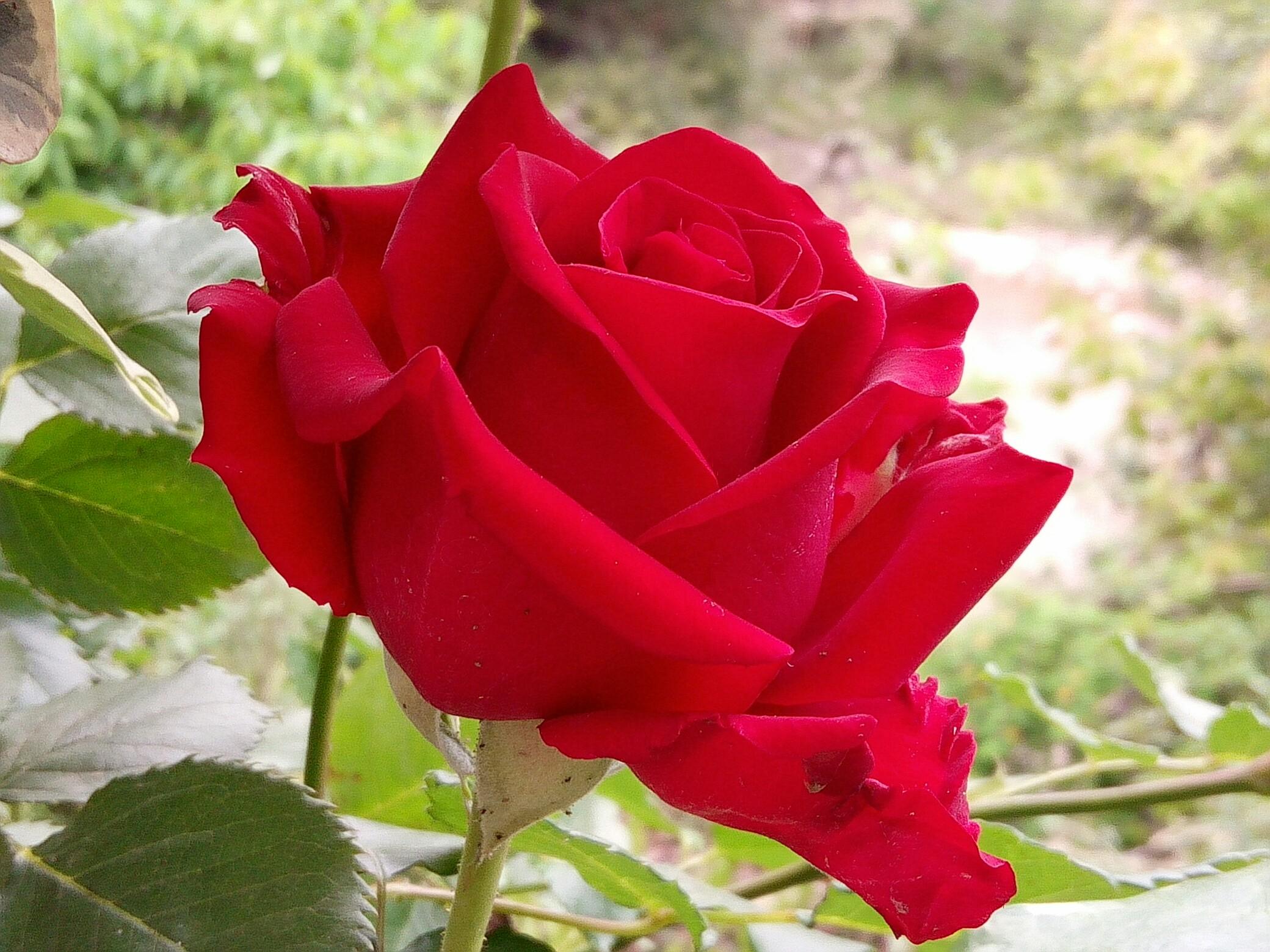 玫瑰花大图