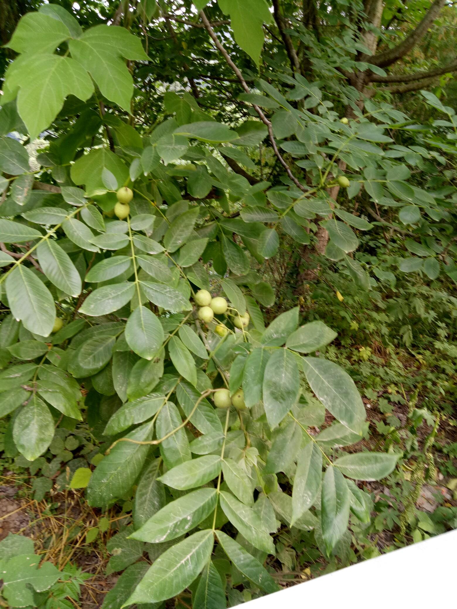 核桃树可以看见的果实,一如青涩的年华