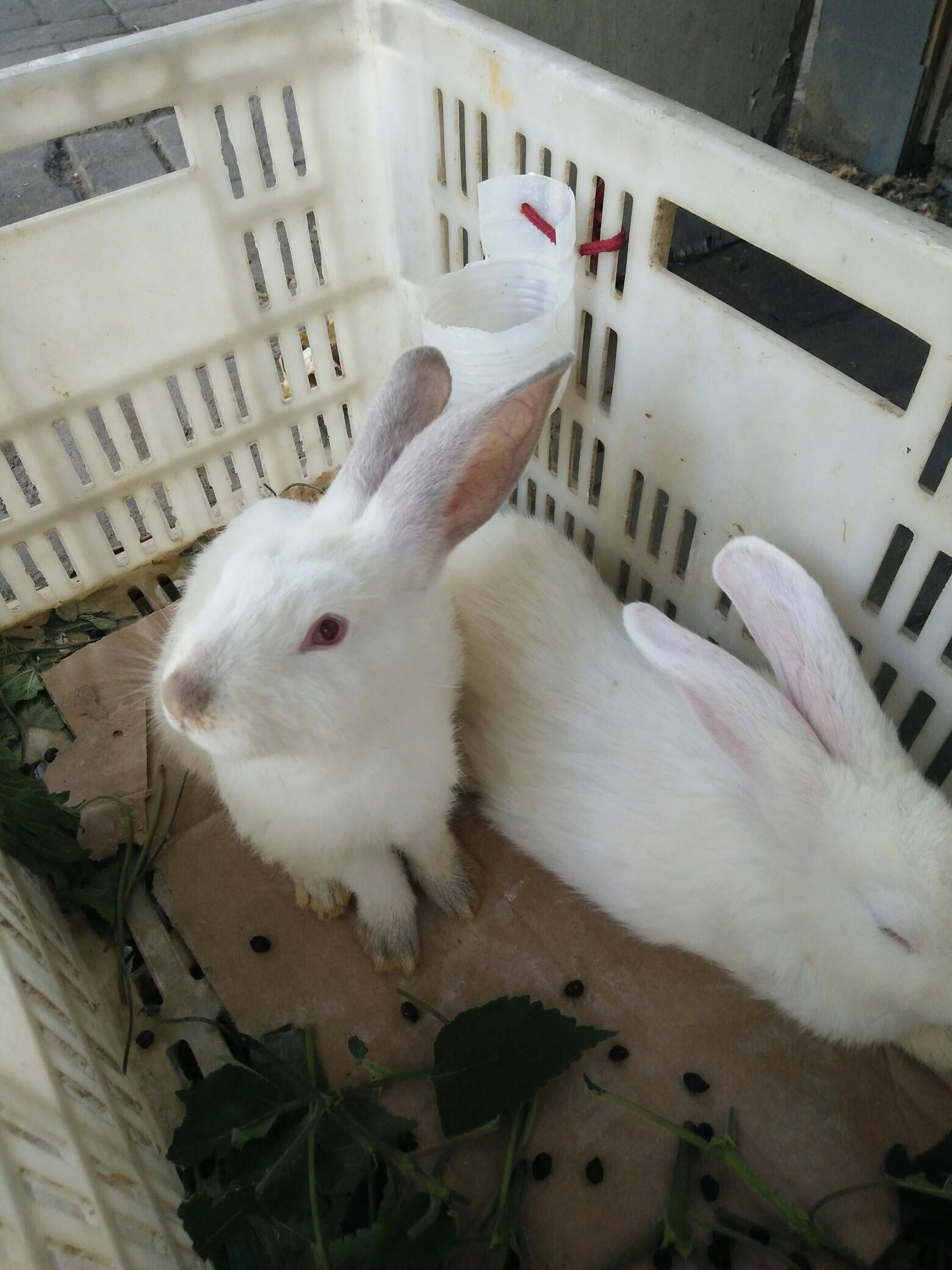 小白兔,白又白.