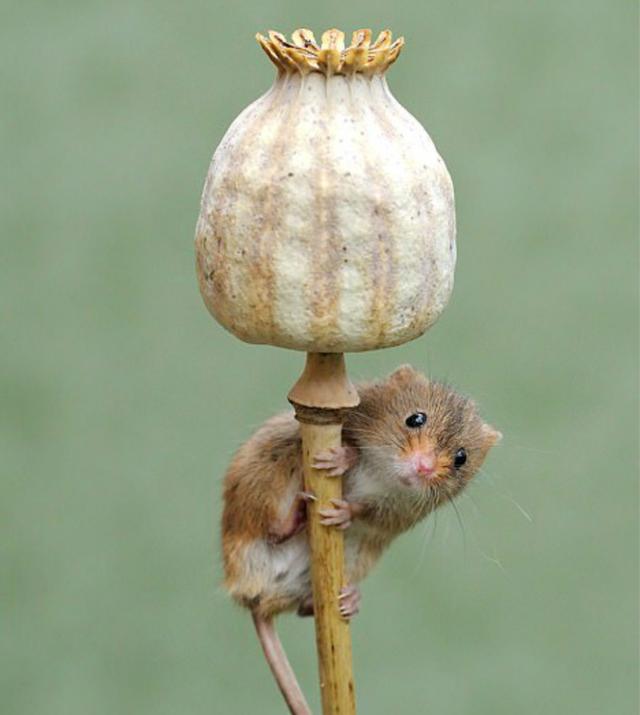 (网图)小田鼠