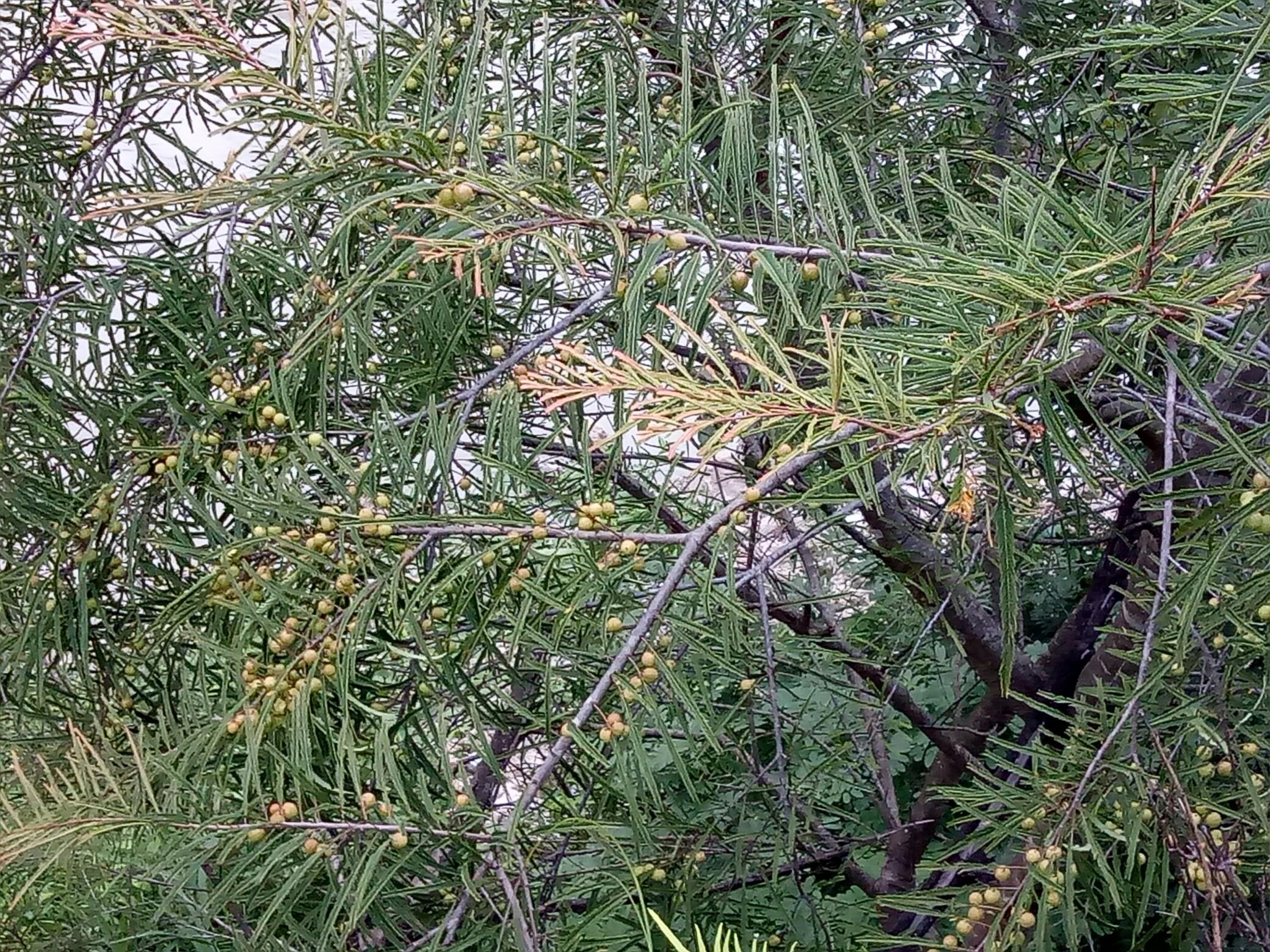 野生橄榄树