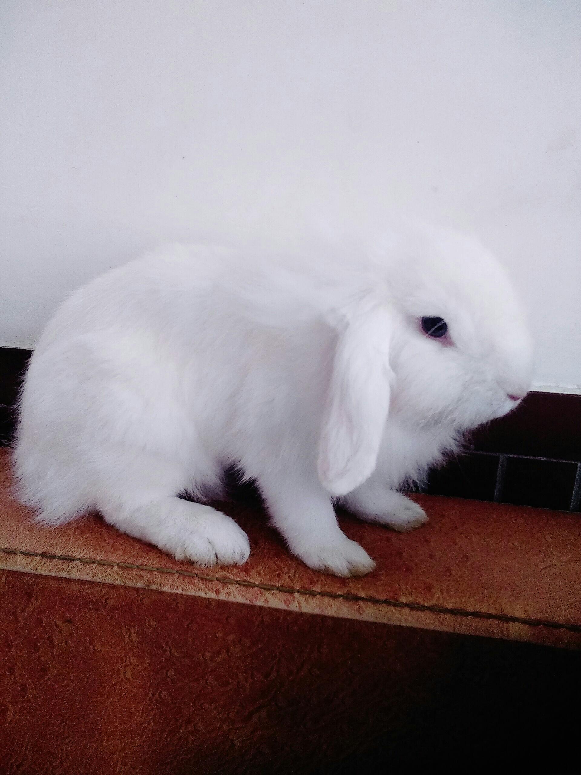 我是垂耳兔,我叫毛球_帖子_oppo手机官方社区