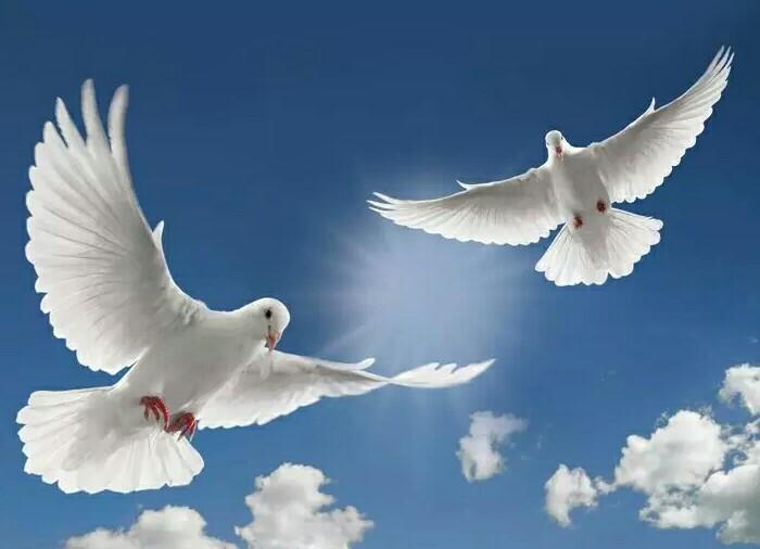 和平鸽图片-和平鸽绘画图片/和平鸽图片简笔画/和平鸽