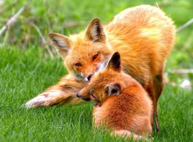 梦见自己跟狐狸一起玩是什么意思