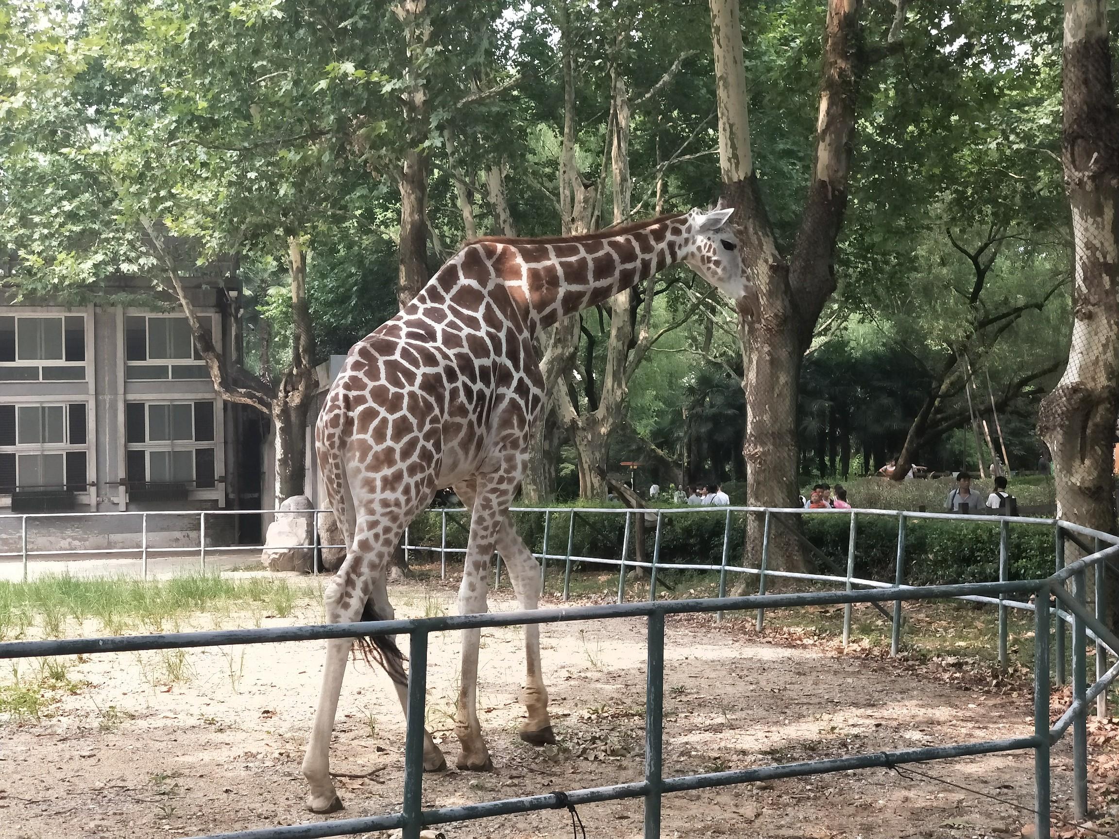 最萌表情包##旅行的意义#上海动物园里的长颈鹿,.
