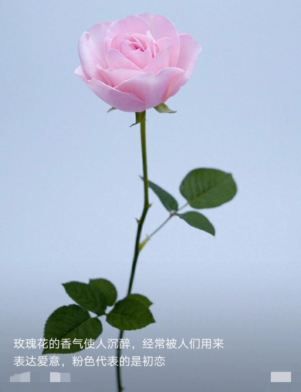致一朵玫瑰花钢琴谱分享展示