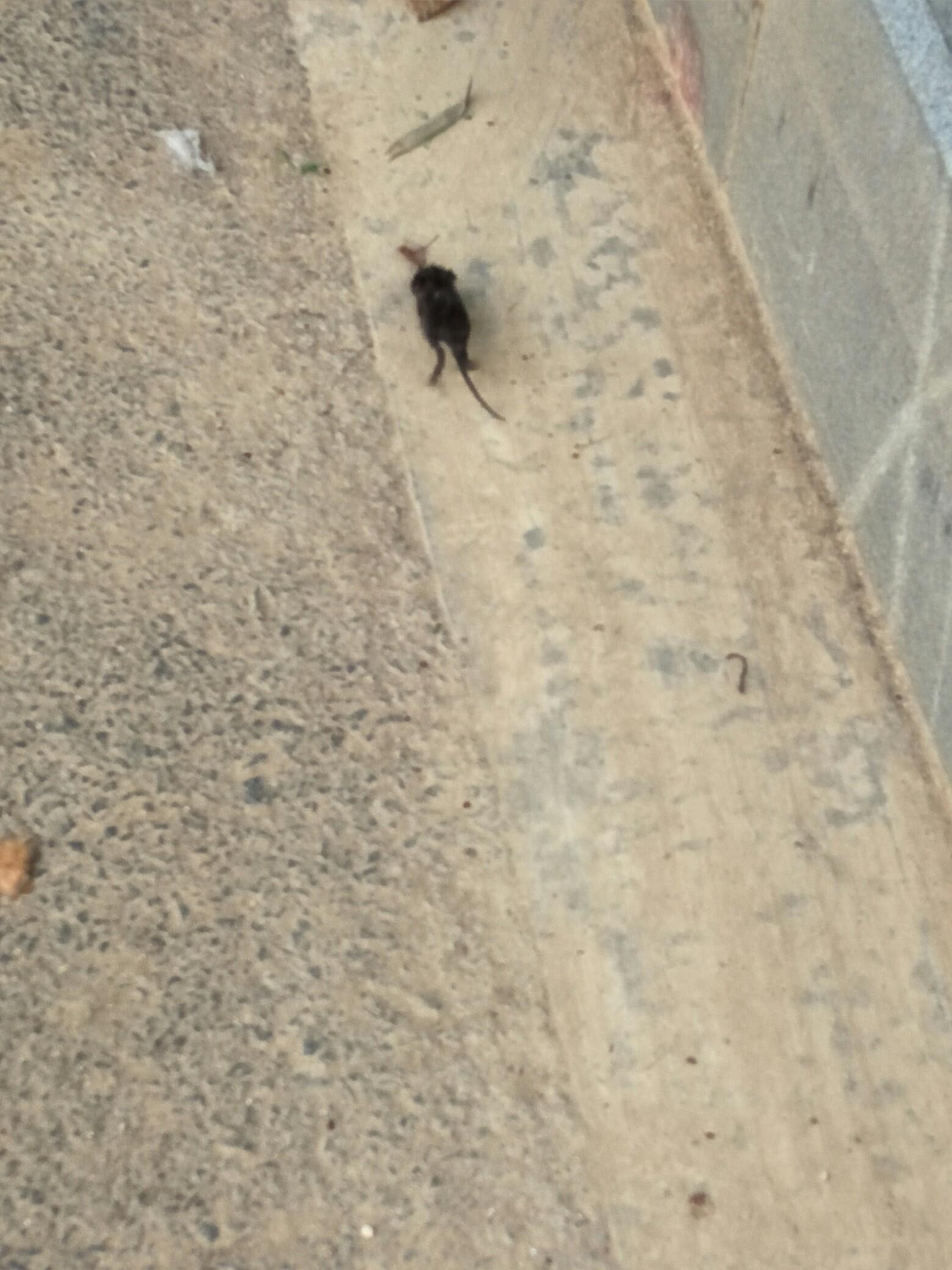 刚出生的小老鼠,第一次见,好可爱.