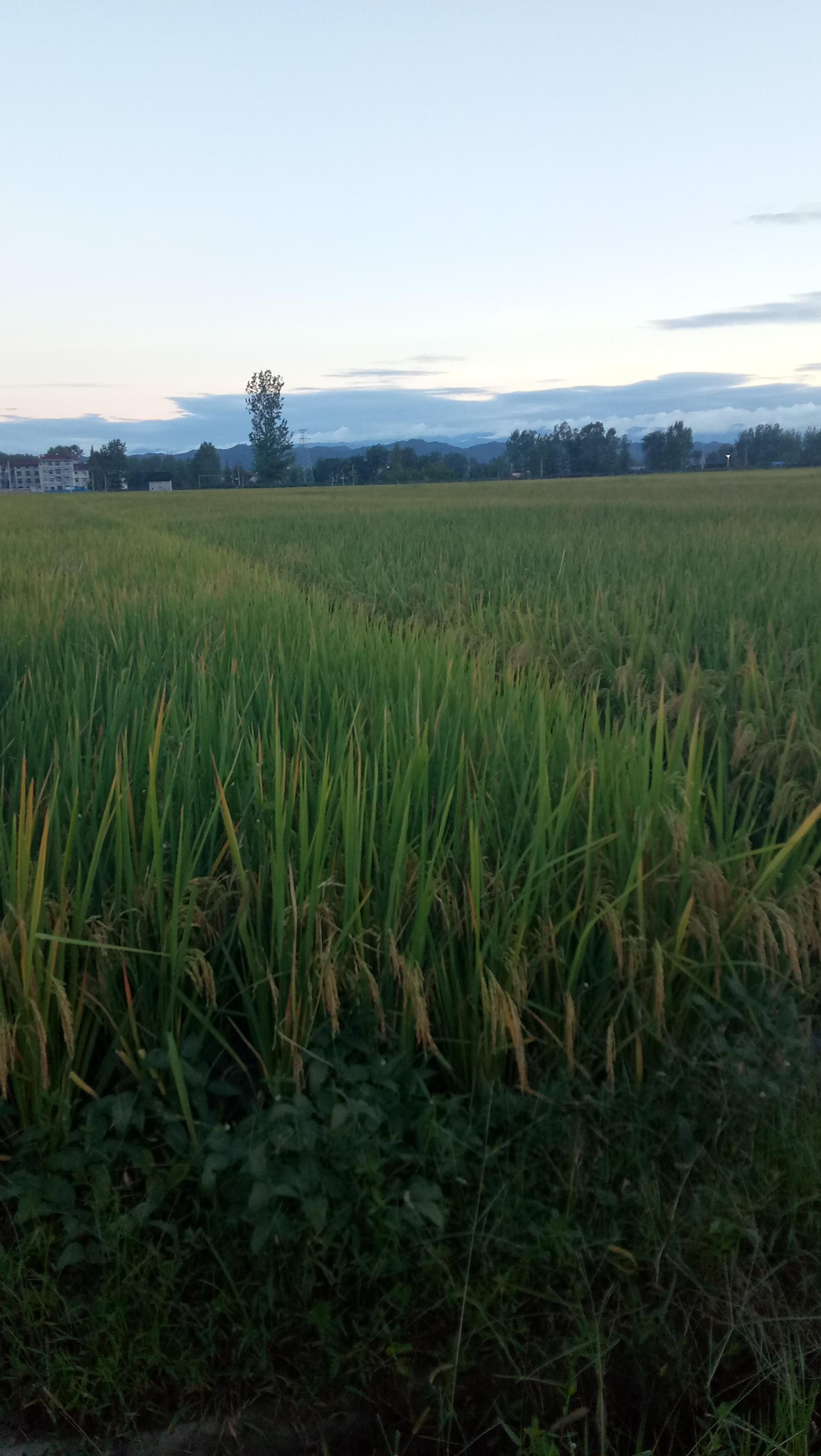 丰收的稻谷