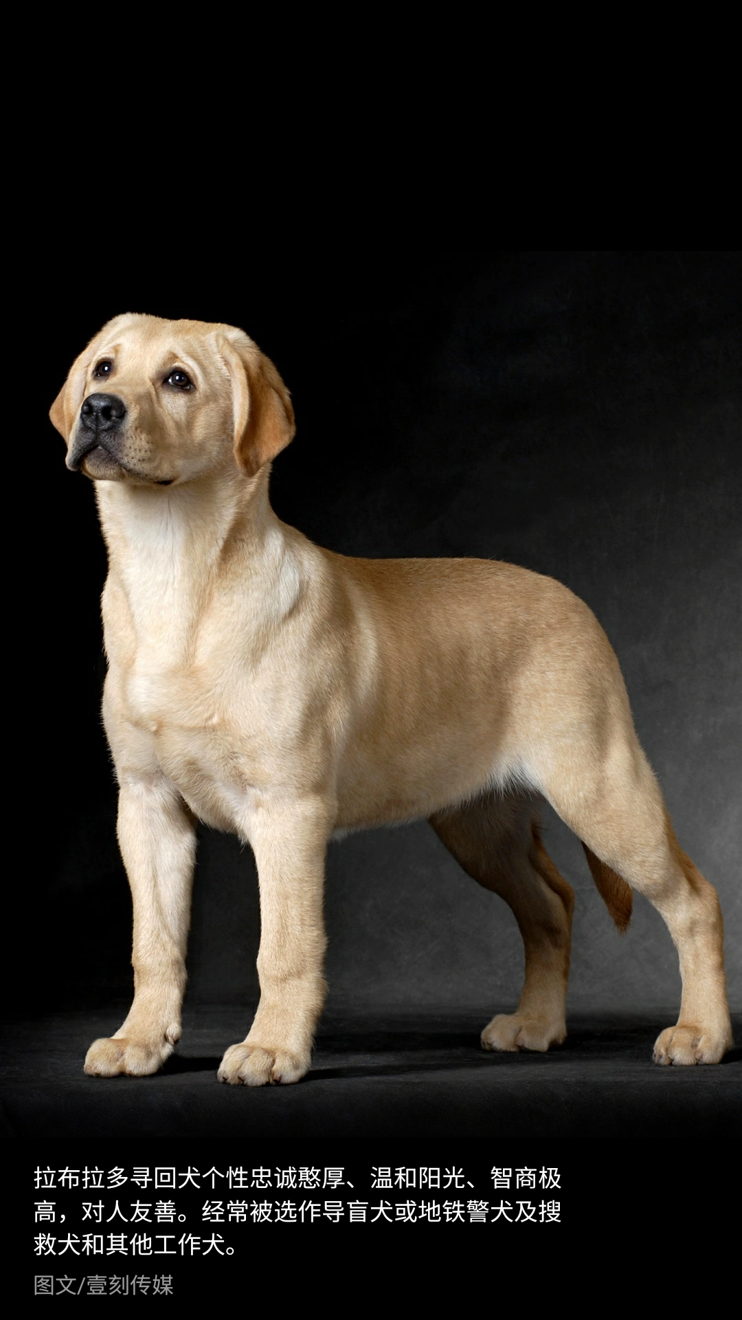 最忠诚的狗_这条土狗它原来是中华田园犬
