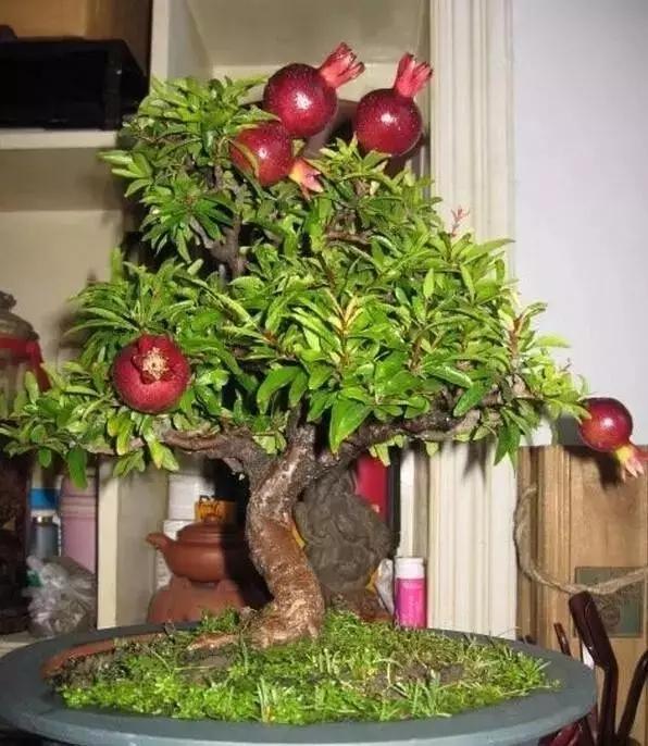 罕见小果树盆景.