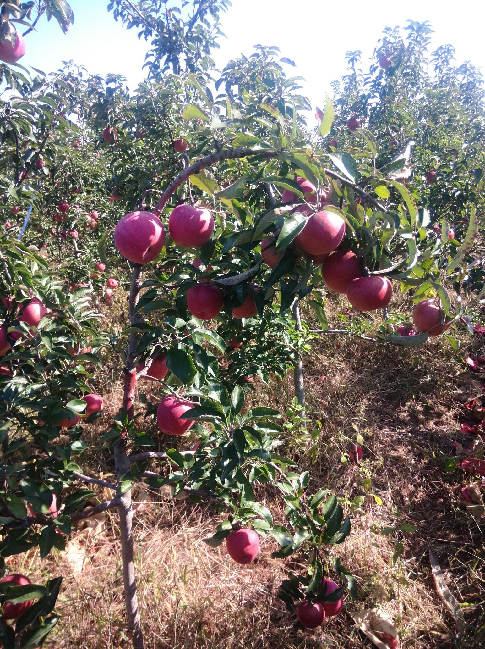 蘋果樹彎腰_帖子_oppo手機官方社區