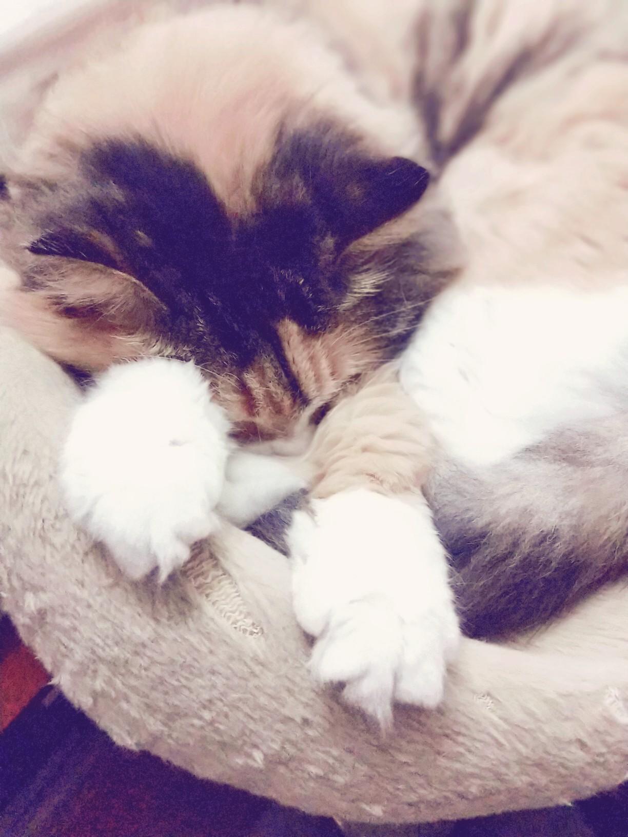 可爱猫咪困睡图片