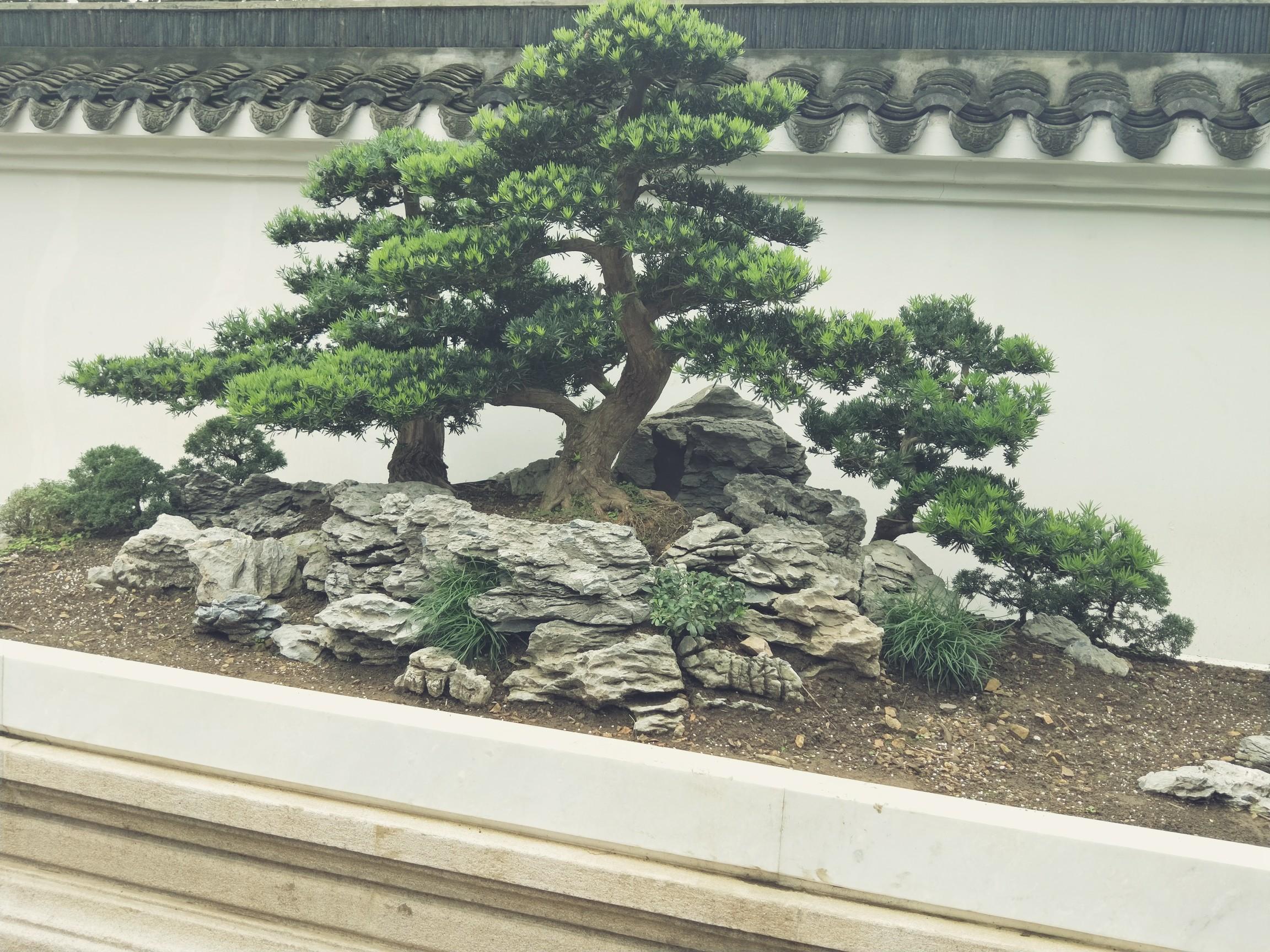 松树盆景.