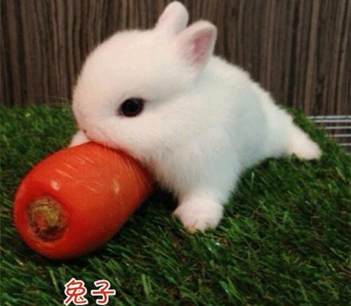 可爱的萌兔子